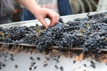 Pinot Noir on the sorting table at Escarpment in Martinborough New Zealand.